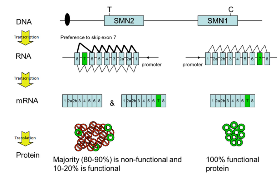 Genes SMN1 y SMN2. Atrofia Muscular Espinal