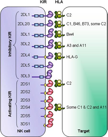 Células NK. Receptores KIR y HLA