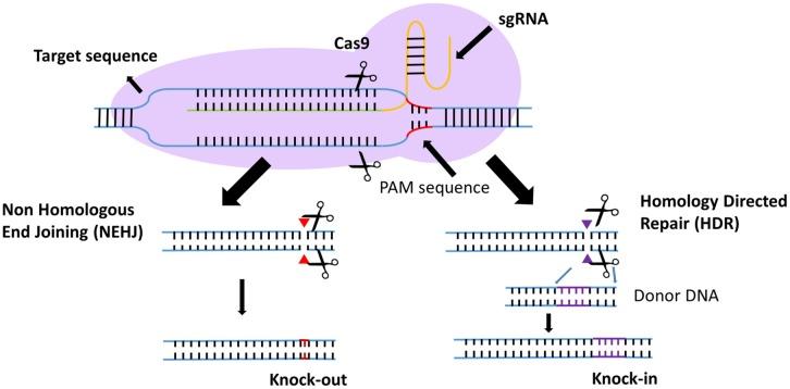 Sistema CRISPR cas9