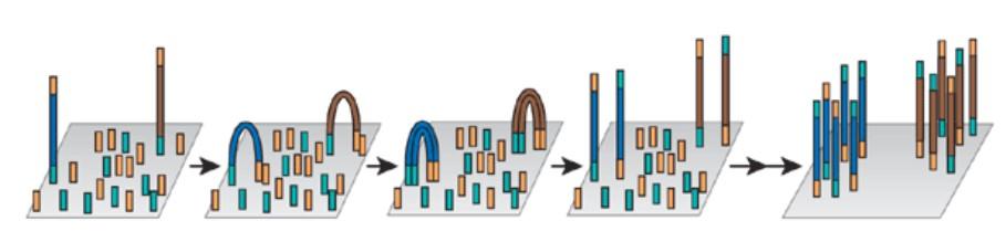 Amplificación puente Secuenciación de Genomas