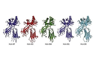 Moléculas HLA de clase II: HLA-DP