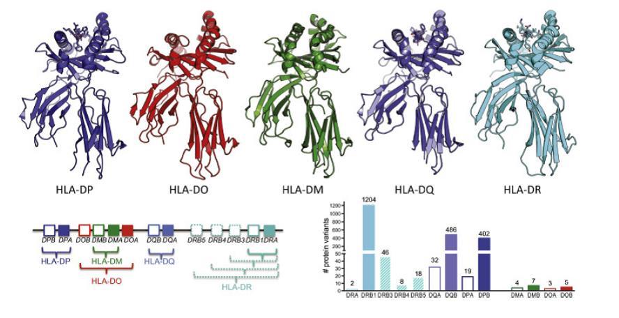 Moleculas HLA de clase II