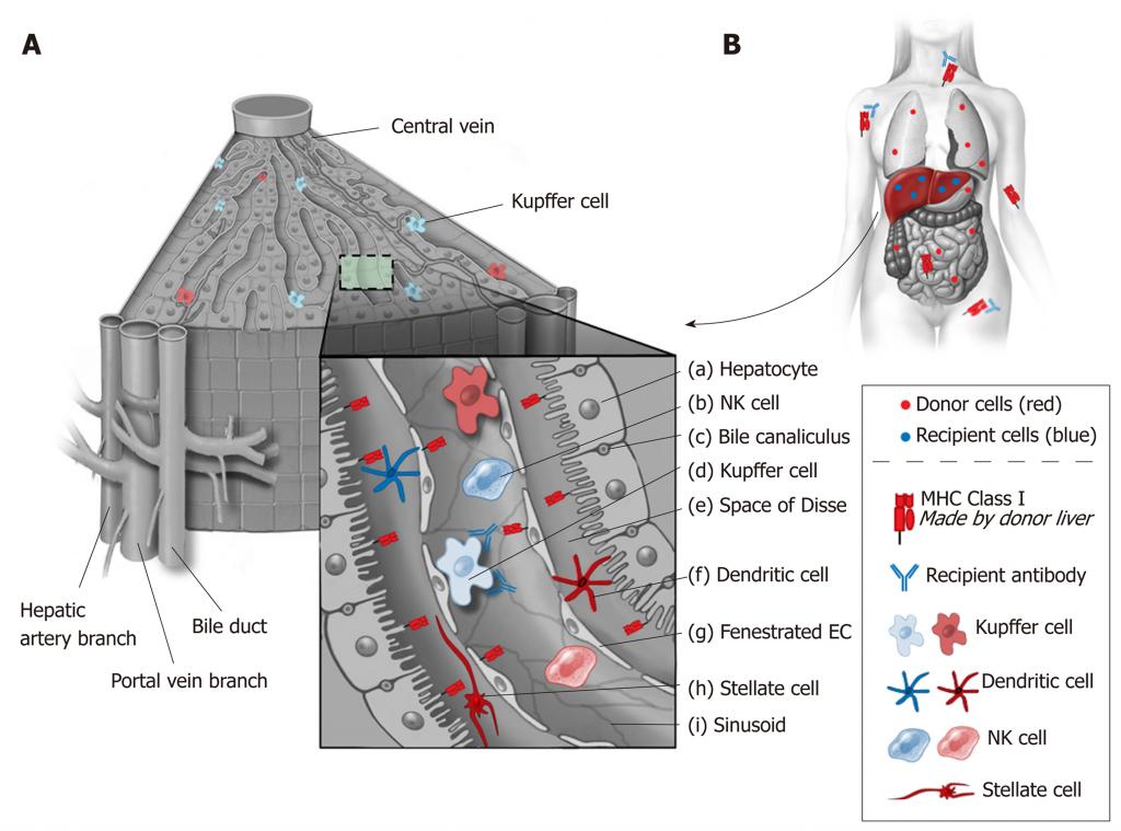 HLA en el trasplante hepático. Arquitectura del higado y celulas inmunes residentes