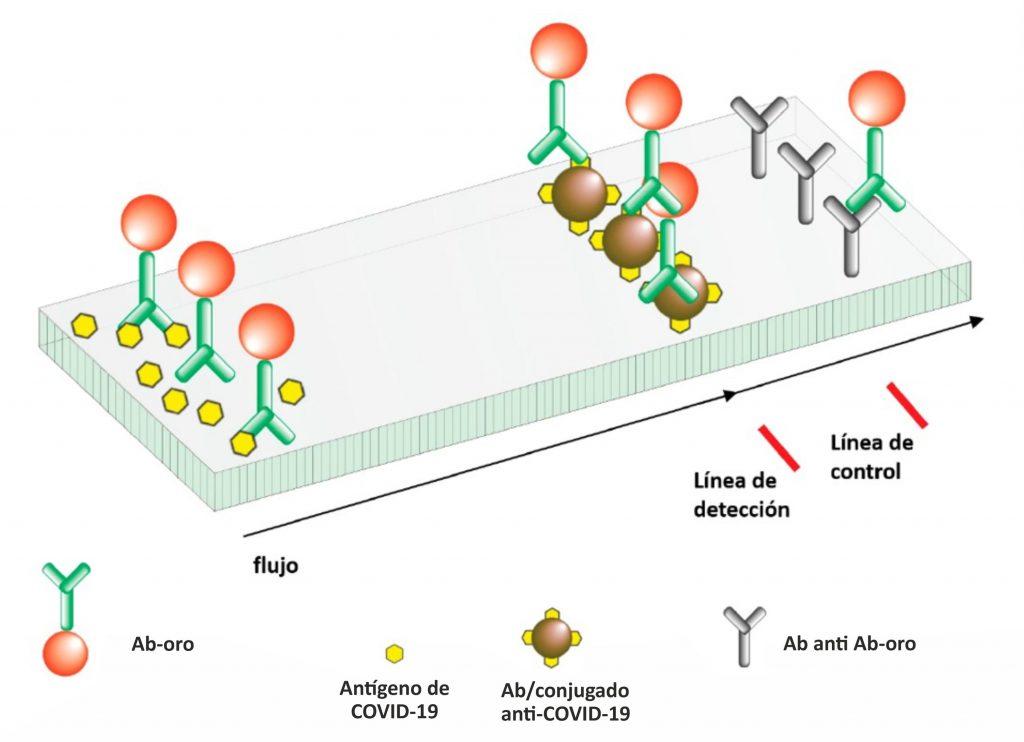 Esquema de funcionamiento y componentes del test rápido de antígeno COVID-19