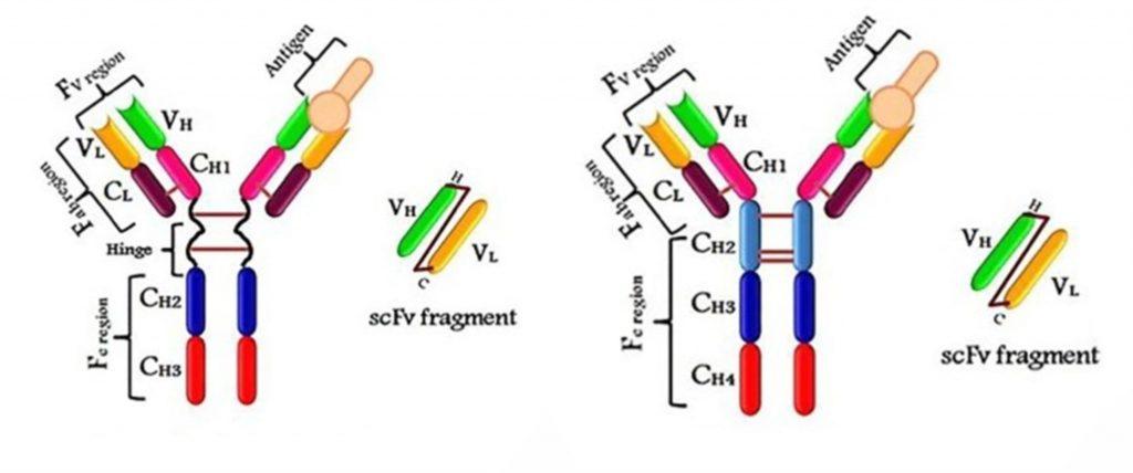 inmunoglobulinas IgG de humano e IgY de pollo son muy similares. Usados para test rápidos y para inmunoterapia/vacunas anti COVID-19.