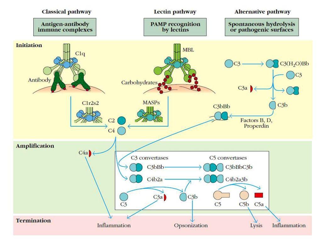 sistema del complemento se puede activar por tres vias para generar las convertasas C3 y C5