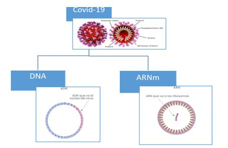 covid-19 adn y arn mensajero