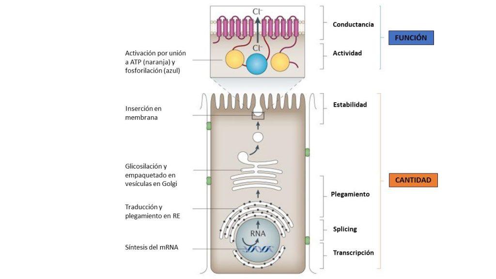 Se muestra todo el proceso que somete CFTR desde su transcripción a su inserción de membrana, además de los dominios funcionales.