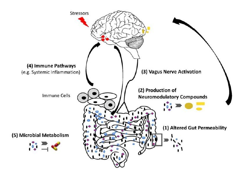 Comunicación bidireccional microbioma-cerebro