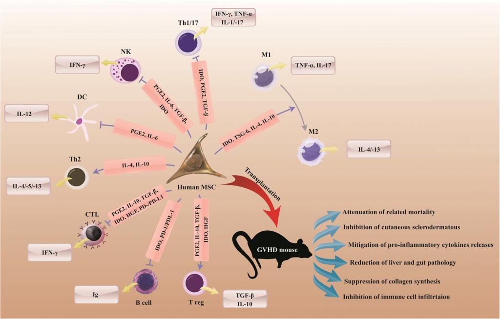 Terapia con células MSC para el tratamiento de GVHD