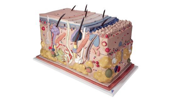 Modelo anatómico de piel