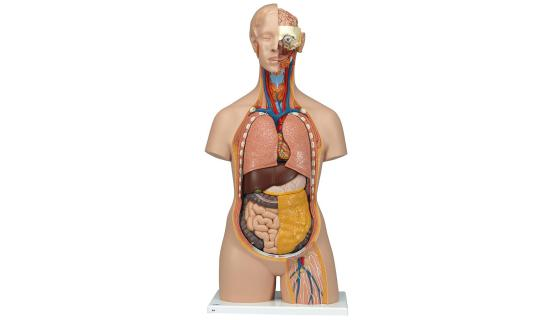 Modelo anatómico de torso