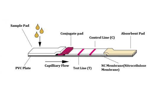 Técnica de flujo lateral y el formato sandwich de doble anticuerpo