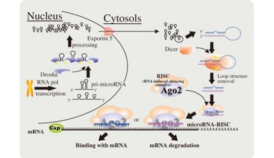 Purificación microRNA - Proceso biológico