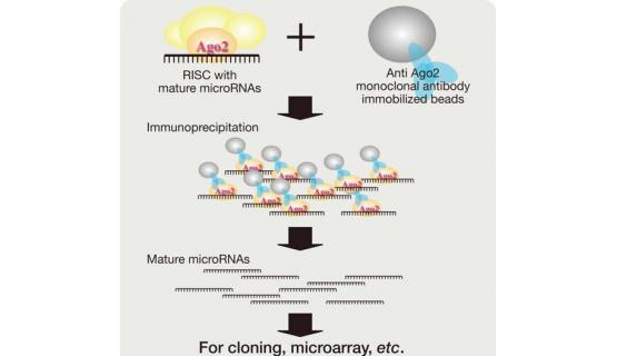 Purificación microRNA - Protocolo