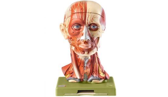 Modelo anatómico de Cabeza