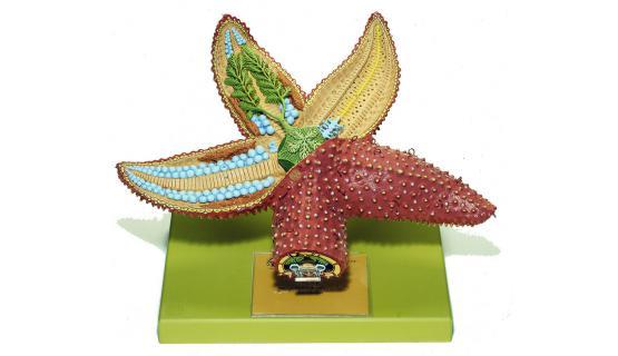 Modelo anatómico de estrella de mar