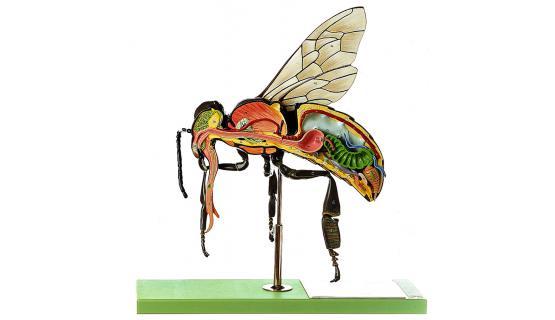 Modelo anatómico de insecto