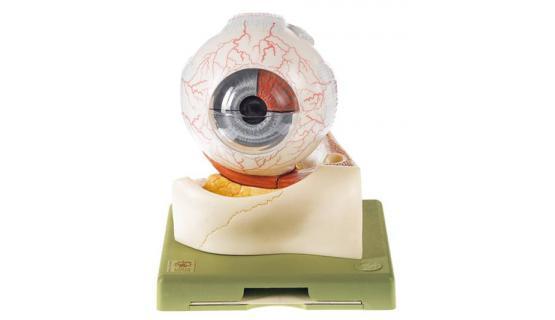 Modelo anatómico de ojo